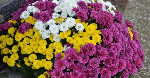 Chrysanthèmes toussaint